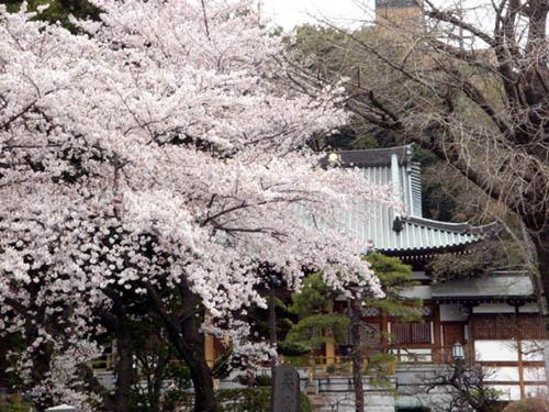 サクラランと、アメリカ桜。_f0030085_22144823.jpg