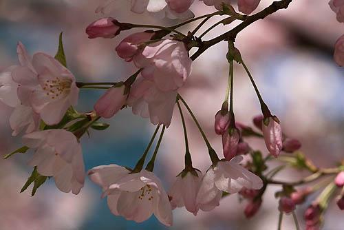 サクラランと、アメリカ桜。_f0030085_2251393.jpg