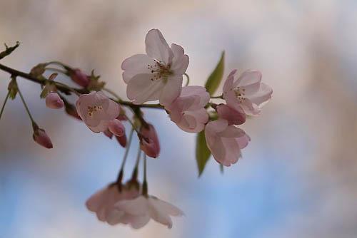 サクラランと、アメリカ桜。_f0030085_225281.jpg