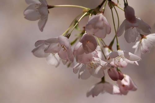 サクラランと、アメリカ桜。_f0030085_2254672.jpg