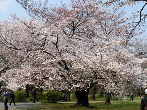サクラランと、アメリカ桜。_f0030085_2275729.jpg