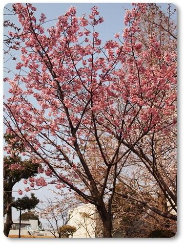 越水浄水場桜~♪_d0078486_1748733.jpg