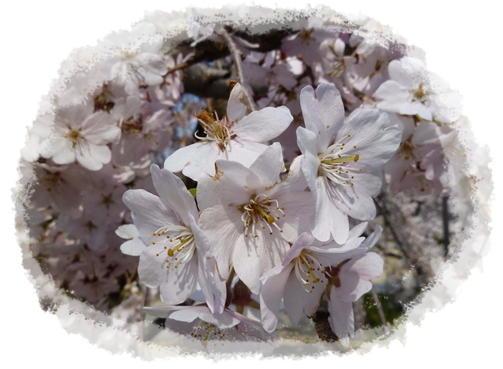 越水浄水場桜~♪_d0078486_192013.jpg