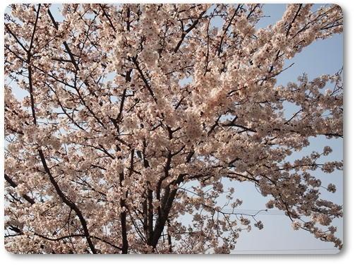 越水浄水場桜~♪_d0078486_748423.jpg