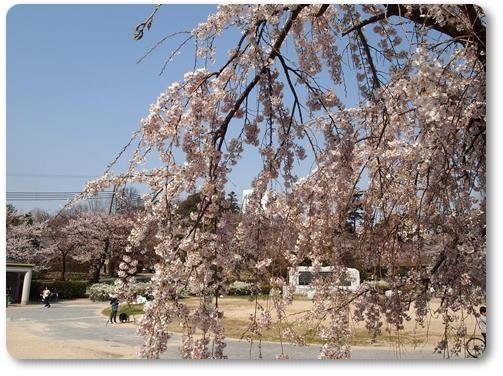 越水浄水場桜~♪_d0078486_810576.jpg