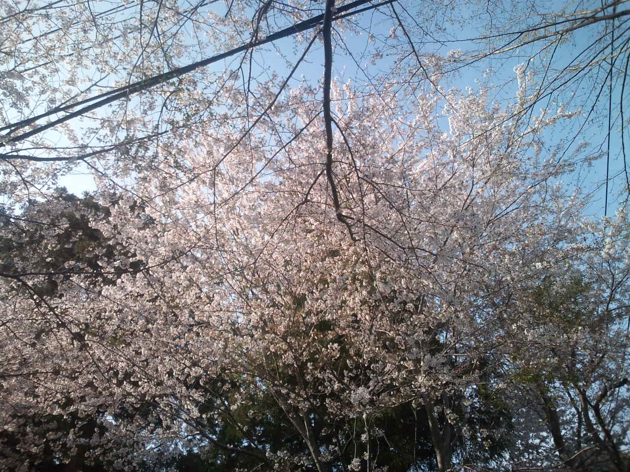 桜満開_e0246300_15252082.jpg