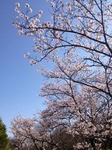 目神山のさくら_e0103024_15503836.jpg
