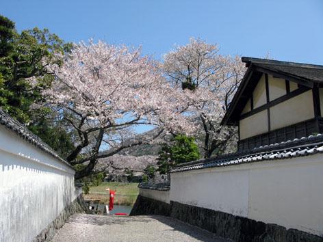 五十鈴川 桜情報 4  _f0129726_22265123.jpg