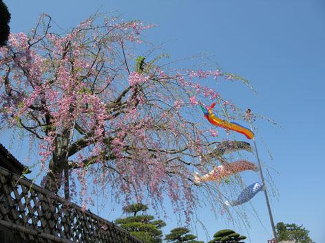 五十鈴川 桜情報 4  _f0129726_22305261.jpg