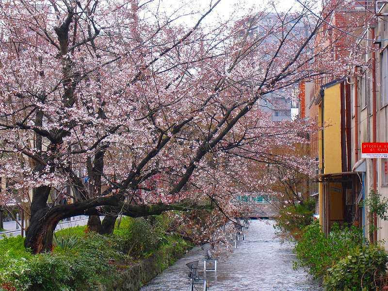 毎年楽しみな、「木屋町通り」の桜便り_e0237645_16213657.jpg