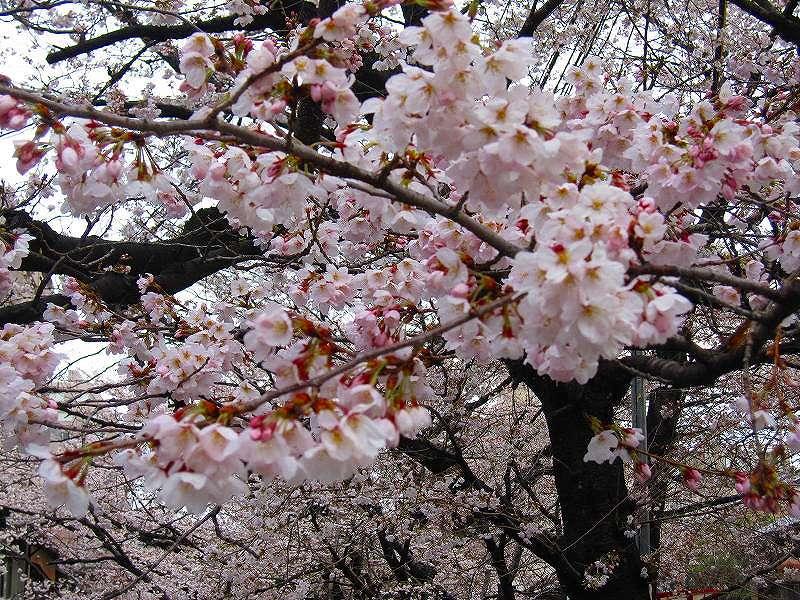 毎年楽しみな、「木屋町通り」の桜便り_e0237645_16215247.jpg