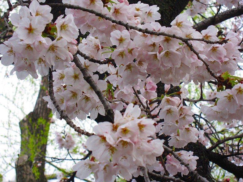 毎年楽しみな、「木屋町通り」の桜便り_e0237645_16221119.jpg