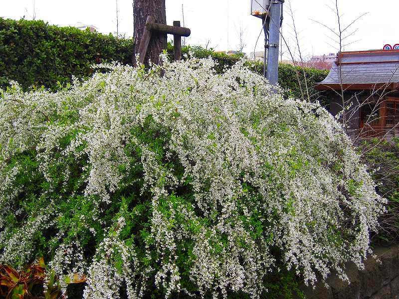 毎年楽しみな、「木屋町通り」の桜便り_e0237645_16223620.jpg