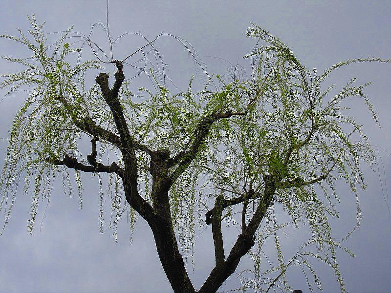 毎年楽しみな、「木屋町通り」の桜便り_e0237645_16225625.jpg