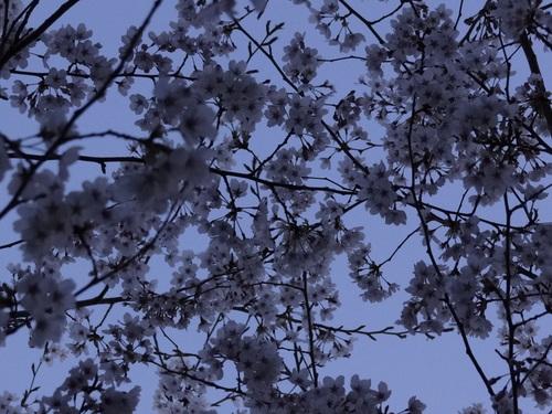 今日も桜_e0240147_0545920.jpg
