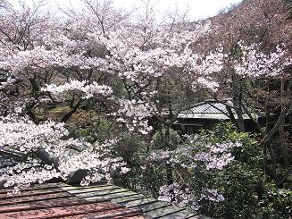 4月12日桜実況中継_c0078659_15544261.jpg
