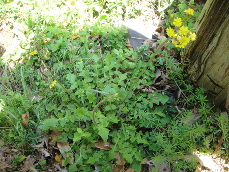 H24年4月度植物調査_c0108460_2162911.jpg