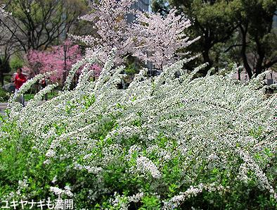 今年の桜は一斉咲き。_c0167961_16334672.jpg