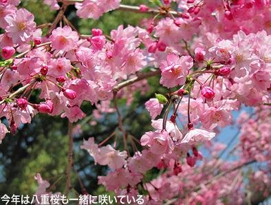 今年の桜は一斉咲き。_c0167961_16343655.jpg