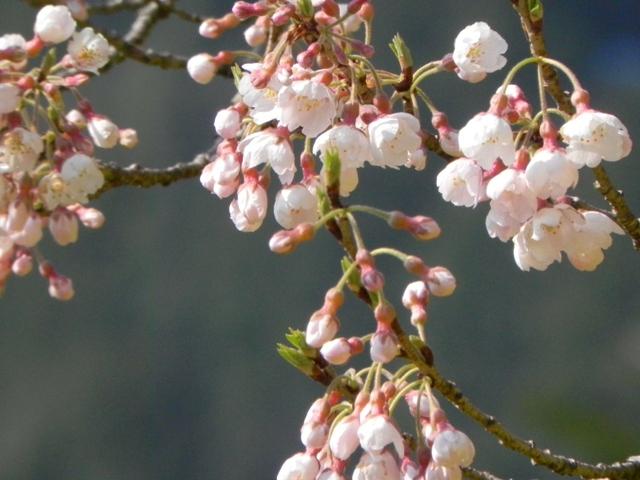 ひょうたん桜_f0227561_0174829.jpg
