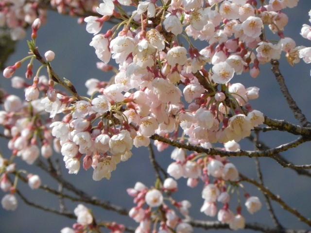 ひょうたん桜_f0227561_019414.jpg