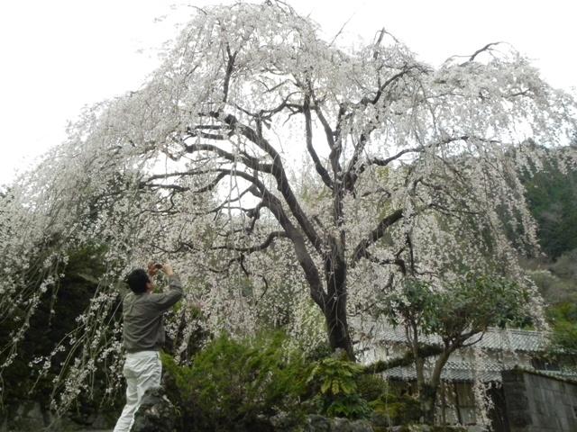 ひょうたん桜_f0227561_0201181.jpg