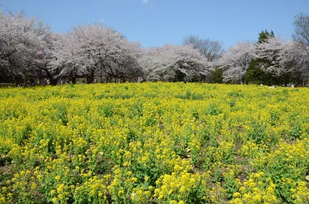 桜と菜の花_e0171573_23231053.jpg