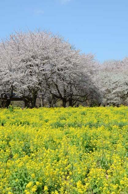 桜と菜の花_e0171573_23232140.jpg