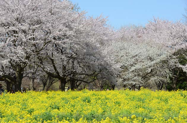 桜と菜の花_e0171573_23232684.jpg