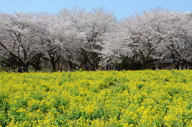 桜と菜の花_e0171573_23233285.jpg