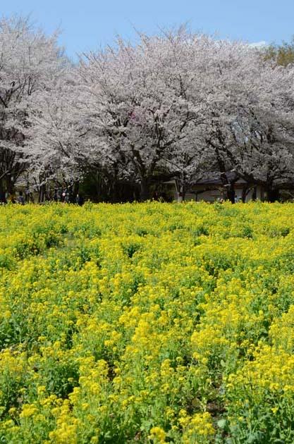 桜と菜の花_e0171573_23233768.jpg