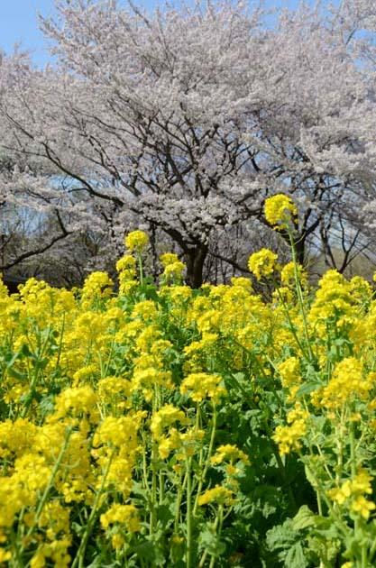 桜と菜の花_e0171573_23234328.jpg