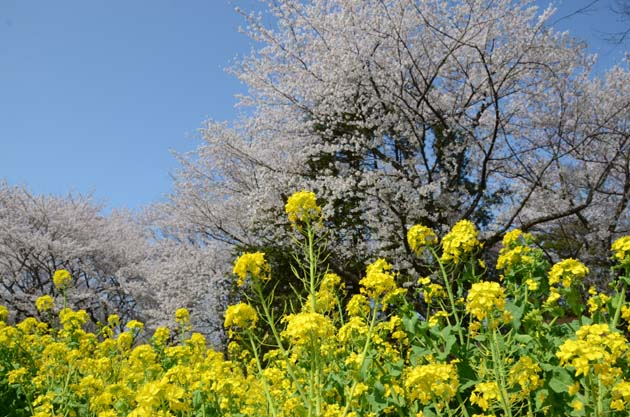 桜と菜の花_e0171573_23234976.jpg