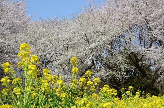 桜と菜の花_e0171573_23235959.jpg