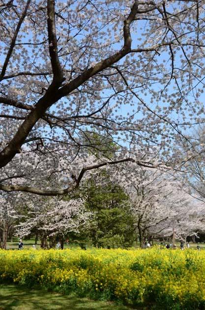 桜と菜の花_e0171573_23241434.jpg
