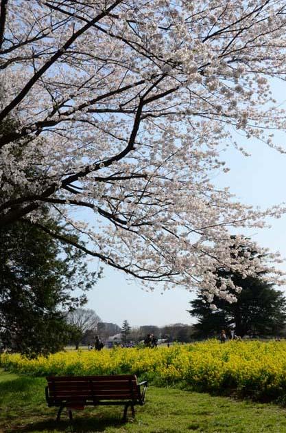 桜と菜の花_e0171573_23241912.jpg