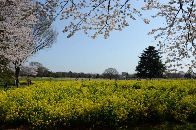 桜と菜の花_e0171573_23242647.jpg