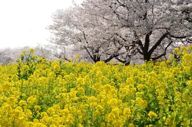 桜と菜の花_e0171573_23243197.jpg