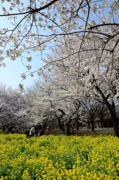 桜と菜の花_e0171573_2324428.jpg