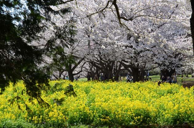桜と菜の花_e0171573_2324937.jpg