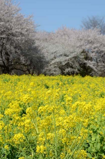 桜と菜の花_e0171573_23254327.jpg