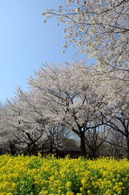 桜と菜の花_e0171573_23254817.jpg