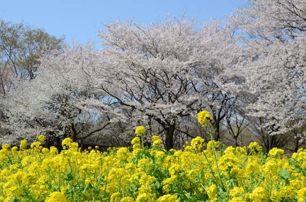桜と菜の花_e0171573_23255323.jpg