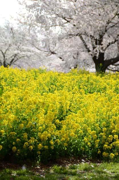 桜と菜の花_e0171573_2325570.jpg
