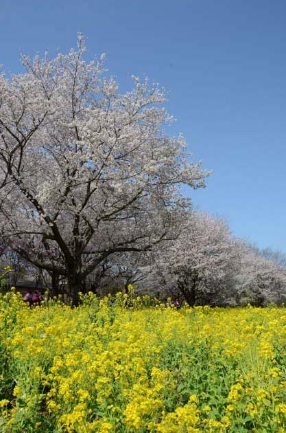 桜と菜の花_e0171573_23255829.jpg