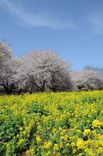 桜と菜の花_e0171573_2326216.jpg