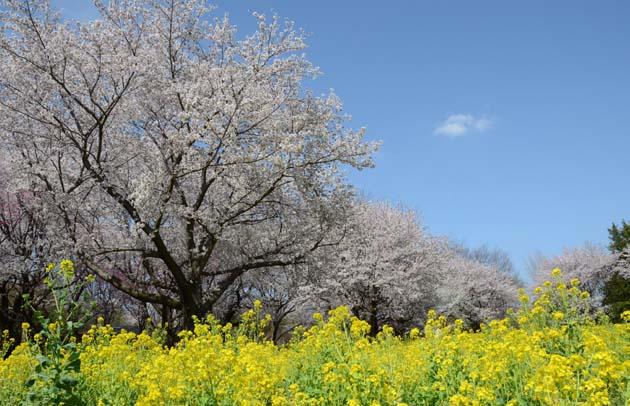 桜と菜の花_e0171573_2326713.jpg