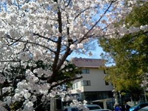 桜満開!_b0164894_19132448.jpg