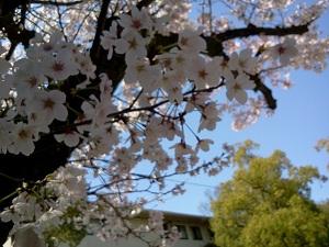 桜満開!_b0164894_19135312.jpg