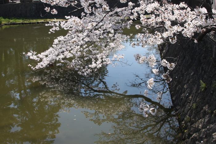 やっと桜が咲きました。_a0037298_2157535.jpg